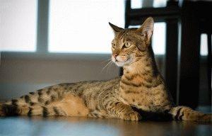 Фото кошки Саванна