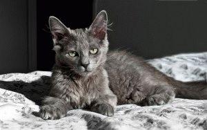 Фото кошки нибелунг