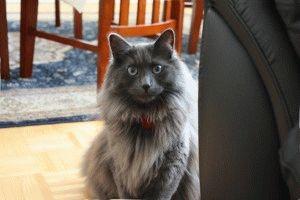 Цена кошки нибелунг в Украине