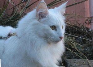 Белая кошка фотография