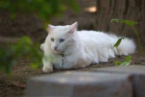 Белая турецкая ангора
