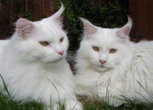 Белые кошки фото