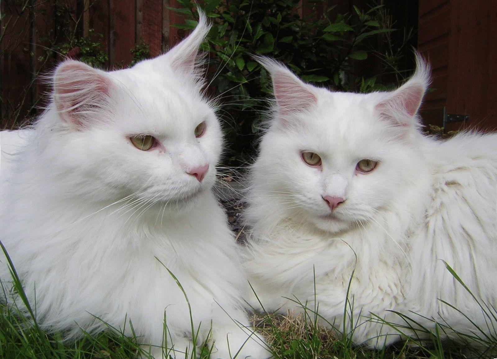 картинки большой белой кошки весьма добротный вездеход
