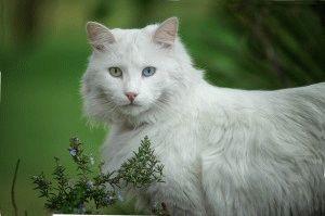 Белый кот породы Турецкая ангора фото