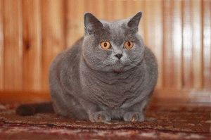 Британская голубая кошка фото