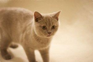 Британская короткошерстная лиловая кошка фото