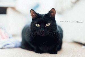 Британская короткошерстная черная кошка фото
