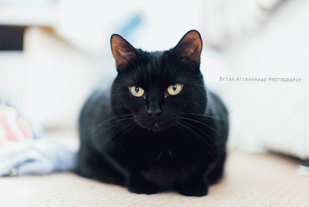 вислоухая британская кошка черная фото