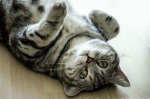 Британская кошка вискас окраса