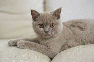 Британская лиловая кошка фото