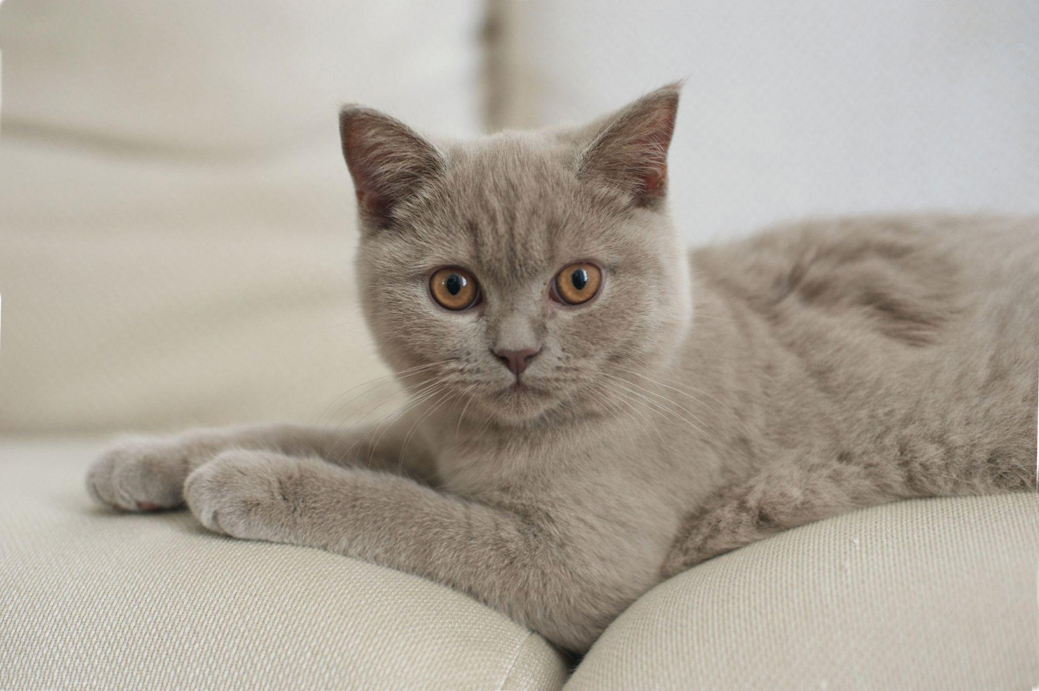 Шотландская вислоухая лиловая кошка