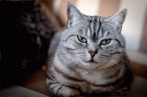 Британская мраморная кошка фото