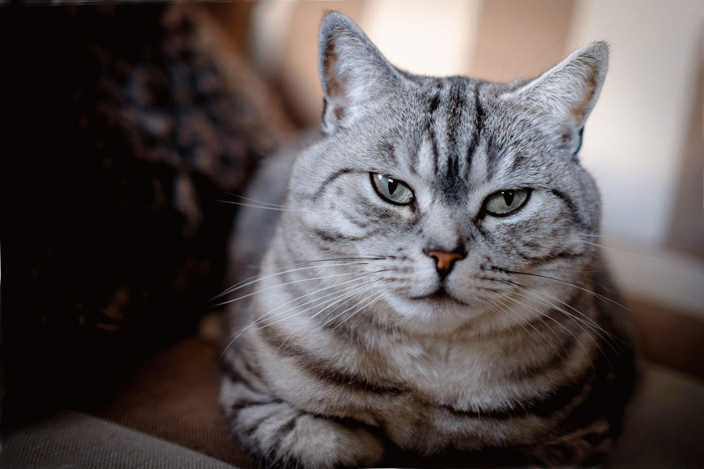 Шотландская вислоухая кошка  мраморная