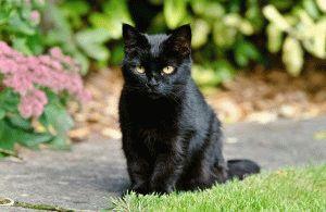 Британская черная кошка фото
