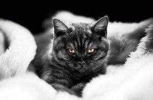 Британская черная кошка