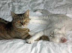 Британская шиншилла фото кошки