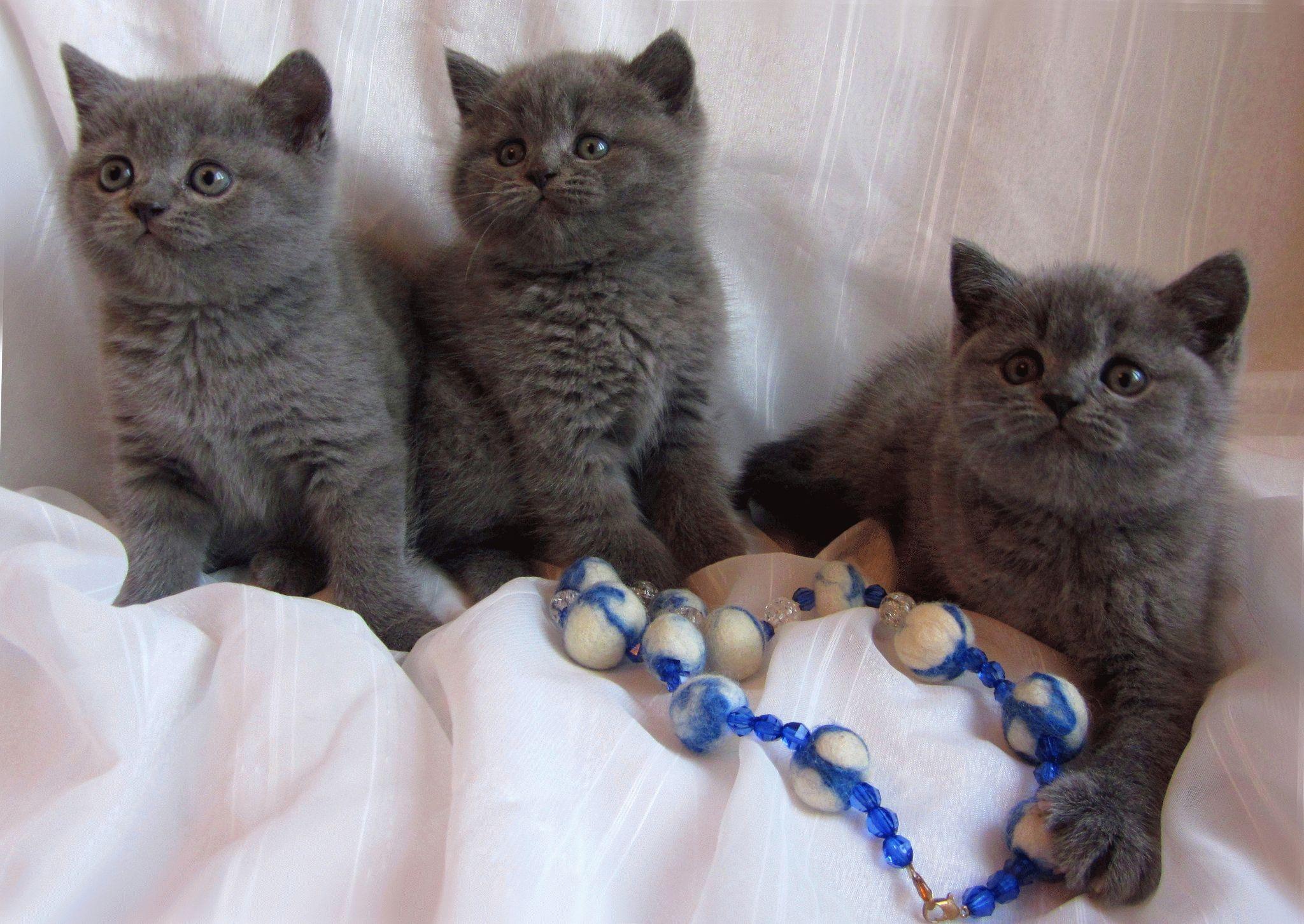 Кот британский голубого окраса