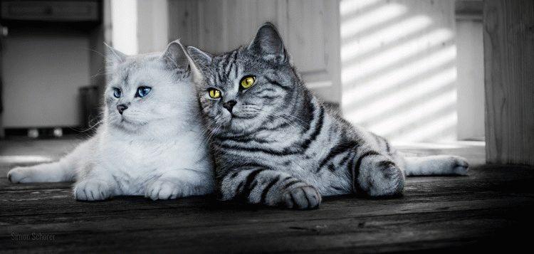 Британские короткошерстные кошки фото