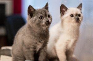 Британские котята окрасы фото