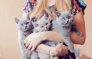 Британские котята фото голубые