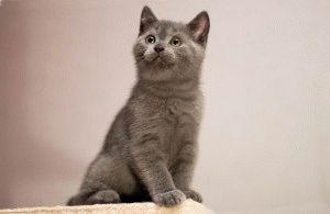 Британские плюшевые котята фото