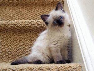 Британский белый котенок фото