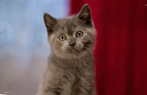 Британский голубой котенок фото