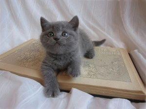 Британский голубой котёнок фото