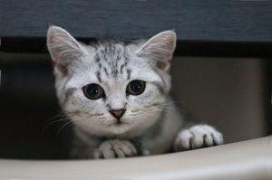 Британский мраморный котёнок фото