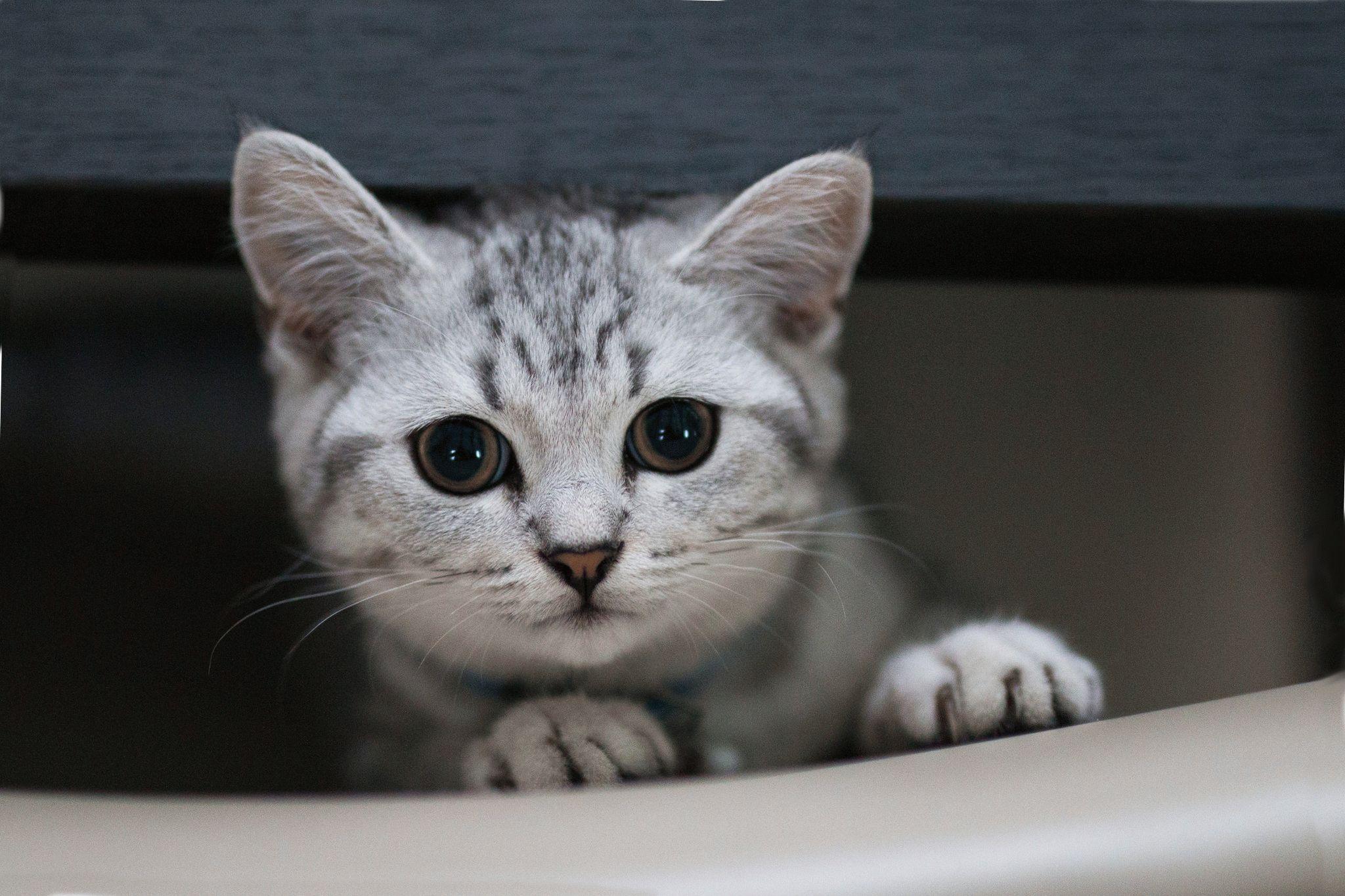 котята фото британцы мраморные