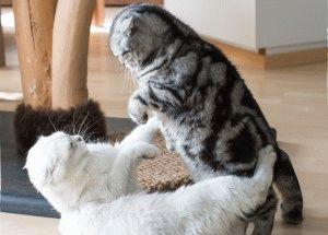 Британский мраморный кот фото