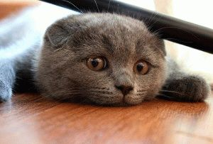 Вислоухая кошка фото