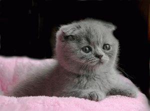 Вислоухий котёнок фото