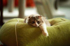 Вислоухих кот фото
