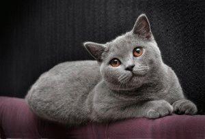 Голубая британская короткошерстная кошка фото
