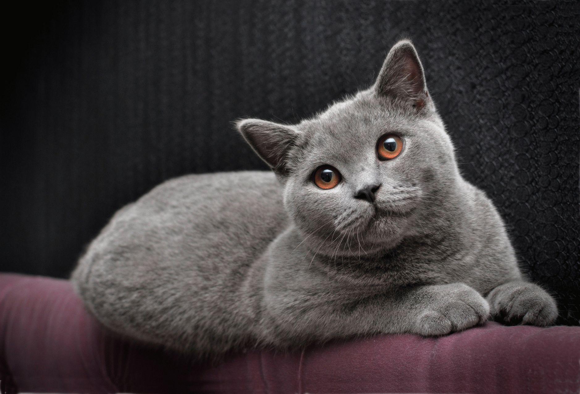 кошки фото красивые британцы экономии