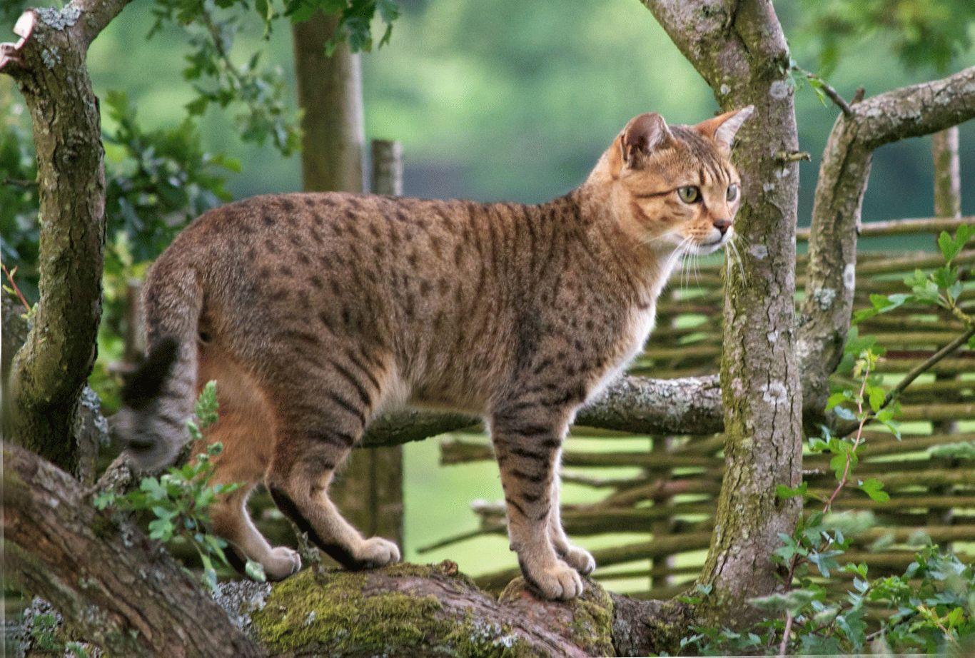 кошка тигрового окраса порода фото
