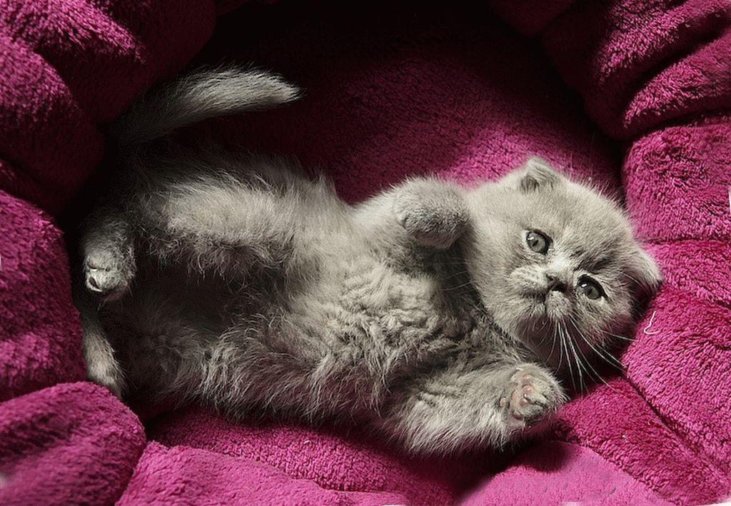 Картинки с вислоухими котятами, про таньку