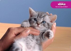 Котенок из рекламы Whiskas