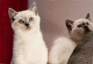 Котята британской породы фото