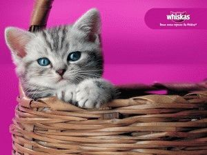 Котёнок из рекламы Вискас - британская короткошерстая порода