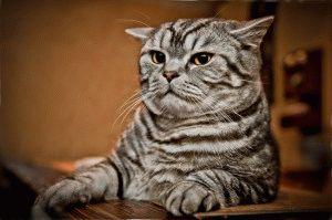 Кот британский мраморного окраса фото