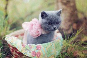 Котенок британской породы фото