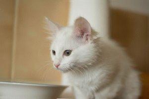 Кошка ангора белаяя фото