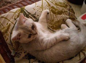 Кошка британская окраса шиншилла