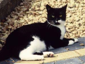 Кошка британской породы черного окраса