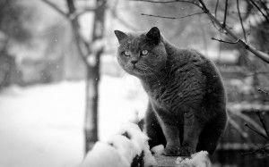 Кошка голубая британская фото
