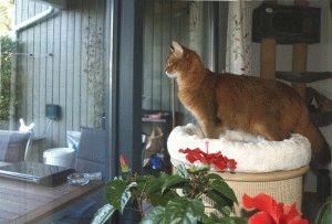 Кошка породы сомали фото