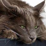 Лечения гастрита у кошек