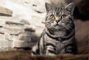 Мраморная британская короткошерстная кошка фото